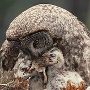 Adult Great Gray Owl feeding chicks in Montana.