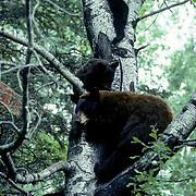 Black Bear, (Ursus americanus) Minnesota, cinnamon colored bear with three cubs seek refuge in tree from larger bears