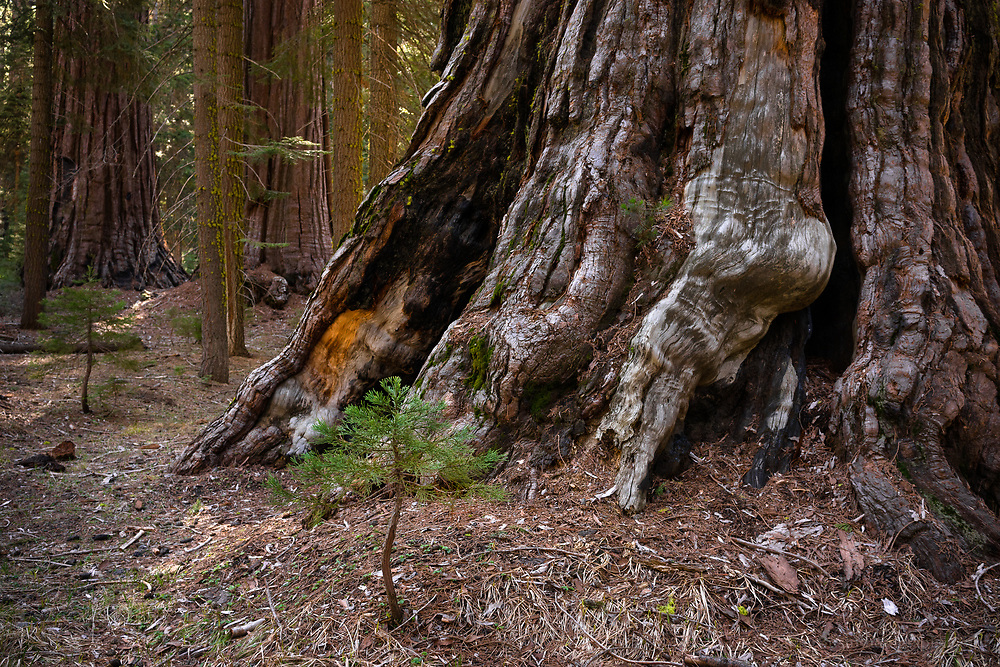 This photograph is an attempt to wrap my mind around the size of the giant sequoia trees. One is maybe a year old, while the other is over a thousand.