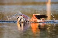 Greater Flamingo (Phoenicopterus roseus) crash landing in lagoon,  Camargue, France