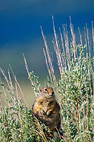 A uinta ground squirrel sits on some sagebrush for a better view near the John Moulton Barn in Grand Teton National Park, Wyoming