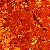 """""""Blazing Maple""""<br /> <br /> There is only one word to describe the vibrant colors of this fantastic fall foliage, and that is Blazing!!<br /> A beautiful sunlight filled image of gorgeous Maple leaves at peak color!!<br /> <br /> Fall Foliage by Rachel Cohen"""