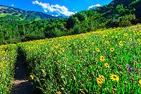 Wildflowers, Rim Creek Trail, Snowmass Village, Colorado USA.