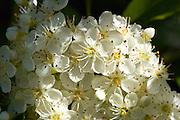 Apple Blossom, Oxfordshire,  United Kingdom
