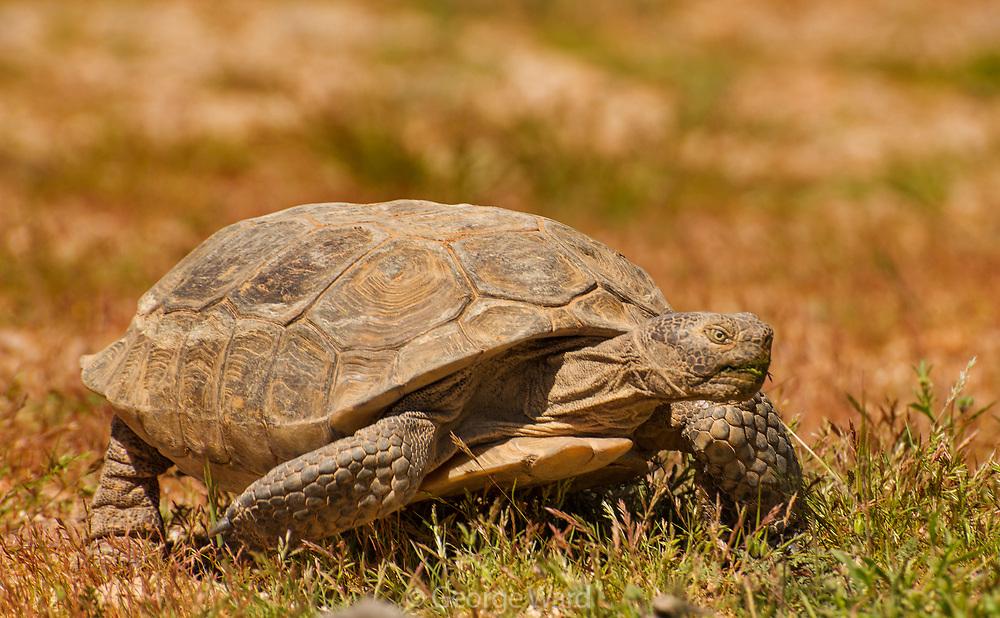 Desert Tortoise on the Prowl, Mojave National Preserve, California