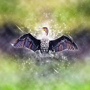 Digitally enhanced image of a White breasted Cormorant Phalacrocorax lucidus, drying its wings. Photographed in Lake Naivasha, Kenya,
