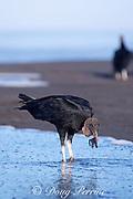 black vulture, Coragyps atratus, feeding on olive ridley sea turtle hatchling, Lepidochelys olivacea, Playa Ostional, Costa Rica, Central America ( Eastern Pacific Ocean )