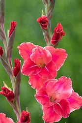 Gladiolus 'Aftershock'