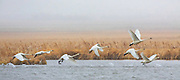 Tundra Swans in Snowstorm at Lake Helena, Montana