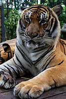 The Indochinese Tiger Panthera tigris corbett natural habitat is in the wilds of Thailand, Cambodia, China, Laos, Myanmar and Vietnam are the home to only around 350 Indo-Chinese tigers.  Clearly they are an endangered species despite the fact that their natural domain spans several countries accounting for one of hte largest habitats for tiger in the world. The majority of them exist in teh Mekong River Region.  Habitats in Southern Laos and on the Thai-Myanmar border areas have the majority of these tigers and the greatest potential for reintroducing them to their base.with increasing restrictions to their habitats .