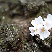 WASHINGTON DC--A close-up of cherry blossoms growing right out from the trunk of one of the oldest trees around the Tidal Basin in Washington DC.