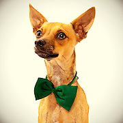 Handsome tan chihuahua picture.