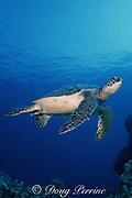 green sea turtle, Chelonia mydas, Kona ( the Big Island),  Hawaii, USA ( Pacific Ocean )
