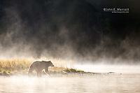Grizzly bear, Chilcotin, British Columbia, Canada
