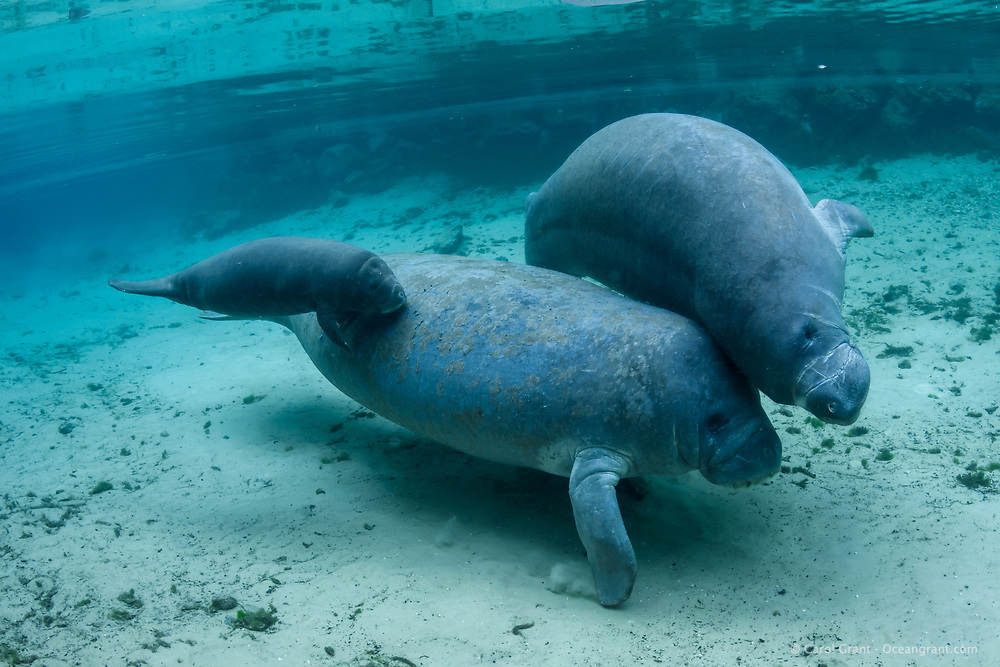 On the Spring Equinox 2019, a mother manatee swims into the  freshwater warm springs with her appx. two week old calf.  A male impedes the mother as she leads her calf. Manatee moms are slow and an easy target for young frisky bothersome males. The mother stays calm and wards off his advances while keeping her calf safe beside her. USGS Manatee Individual Photo-Identification System IDed the mother and the bothersome male. I have all the information, contact Carol Grant for specific information. Florida manatee, Trichechus manatus latirostris, a subspecies of the West Indian manatee, endangered IUCN. USFWS downlisted to Threatened in 2017. Kings Bay, Crystal River National Wildlife Refuge, Kings Bay, Crystal River, Citrus County, Florida USA.