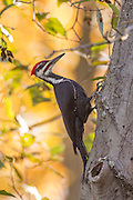 A male Pileated Woodpecker (Dryocopus pileatus) searches for food on a decaying Pacific Silver Fir tree (Abies amabilis) in the Washington Park Arboretum in Seattle, Washington. Pileated Woodpeckers are the largest woodpeckers and are typically found in mature forests where they feed on carpenter ants. Male Pileated Woodpeckers can be identified by the red color at the base of their bills; all Pileated Woodpeckers have red feathers at the top of their crown.