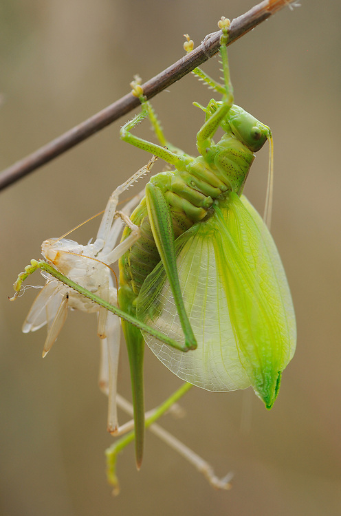 Great green bush cricket, Tettigonia viridissima<br /> Faia Brava and  Côa valley Archaeological park,<br /> Portugal