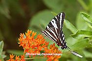 03006-00312 Zebra Swallowtail (Eurytides marcellus) on Butterfly Milkweed (Asclepias tuberosa) Reynolds Co. MO