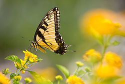 August 8, 2017 - Fort Worth, Texas, USA - August 8, 2017. An Eastern Swallowtail Butterflylands on the blooms of a lantana on an unseasonably cool August afternoon in Fort Worth. Tx. The high temperature was 90 degrees on a day that typically will see the triple digits after clouds and showers passed thru north Texas. (Credit Image: © Ralph Lauer via ZUMA Wire)