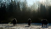 Puszcza Bialowieska, 02.2018. N/z zubry ( Bison bonasus ) *** European bison in Bialowieza Forest *** fot Michal Kosc / AGENCJA WSCHOD