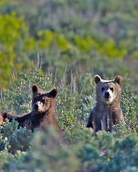 Standing Grizzly Bear Cubs of Grizzly sow #399 in  Grand Teton National Park, Jackson Hole, Wyoming<br /> <br /> Contact for custom print options or inquiries about stock usage  - dh@theholepicture.com
