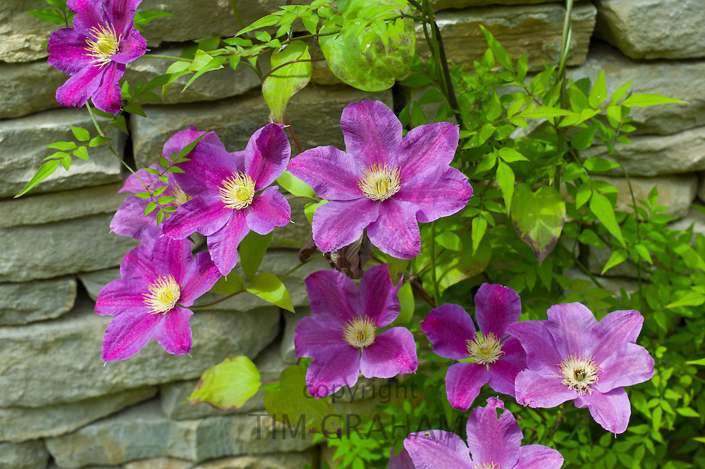 Pink clematis climbing shrub in English cottage garden in Swinbrook in The Cotswolds, Oxfordshire, UK