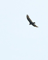 Turkey Vulture. Image taken with a Nikon D200 camera and 200 mm f/4 macro lens