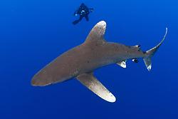 Oceanic Whitetip Shark, Carcharhinus longimanus, and diver. Bahamas, Atlantic Ocean