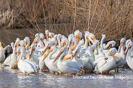 00671-01112 American White Pelican (Pelecanus erythrorhynchos) Clinton Co.  IL