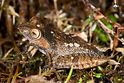 Madagascar Bright Eyed Frog, Boophis madagascariensis, on rainforest floor, Ranomafana National Park, Madagascar, Least Concern on the IUCN Red List