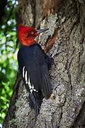Magellanic (red headed)  woodpecker, Carpintero gigante, Campephilus magellanicus, drills for grubs in Nothofagus southern beech tree, Parque Nacional Los Glaciares, Patagonia, Argentina.
