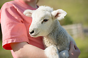 Juniper Cosner helps take care of the animals, like this lamb, from Upper Dry Creek Ranch.
