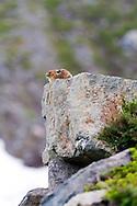 An American Pike (Ochotona princeps taylori) sits on a talus slope rock
