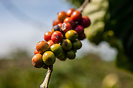 Bunch of beans on a coffee tree, Da Lat area, Vietnam, Southeast Asia