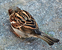 House Sparrow (Passer domesticus). Stockholm, Sweden. Image taken with a Nikon N1V2 camera and 10-100 mm VR lens.