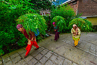 Women carrying fresh grass in baskets on their backs for their cows, Old Manali, Himachal Pradesh, India.