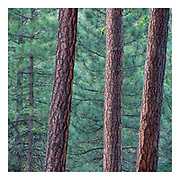 Intimate landscape of pine tree trunks and a swath of green pine needles in the background