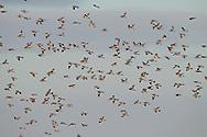 Wood Pigeon, Columba palumbus, winter flock in flight over cereal crop where feeding, Norfolk UK