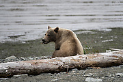 A brown bear adult boar sits on the beach at the McNeil River State Game Sanctuary on the Kenai Peninsula, Alaska. The remote site is accessed only with a special permit and is the world's largest seasonal population of brown bears in their natural environment.