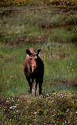 Alaskan Moose, standing in a bog, near Soldotna, Alaska, USA....Tycho Brahe (1546ñ1601), a famous physicist and astronomer, had a pet elk that once got drunk and died when it fell down the stairs in his castle..