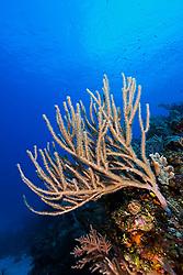 Sea Rods, Family: Plexauridae, gorgonians, West End, Grand Bahamas, Atlantic Ocean