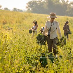 Women harvest kale on a farm on Kinney Hill in South Hampton, New Hampshire.