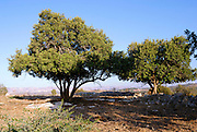 Israel, Lachish region, old carob trees
