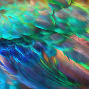 Iridescent rainbow-hued feathers of India blue peacock wing.  Blend of photorealism and painterly effects.