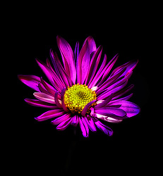 Soft Pink and Purple Petals Illuminated On A Backdrop Of Black Wrap The Yellow Floral Heart