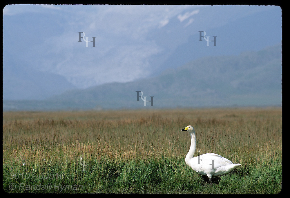 Whooper swan (Cygnus cygnus) stands in meadow with Vatnajokull glacier in distance; Hofn, Iceland