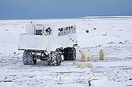 01874-11019 Polar bears (Ursus maritimus) near Tundra Buggy, Churchill, MB