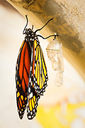 Monarch wings are flat and dry.