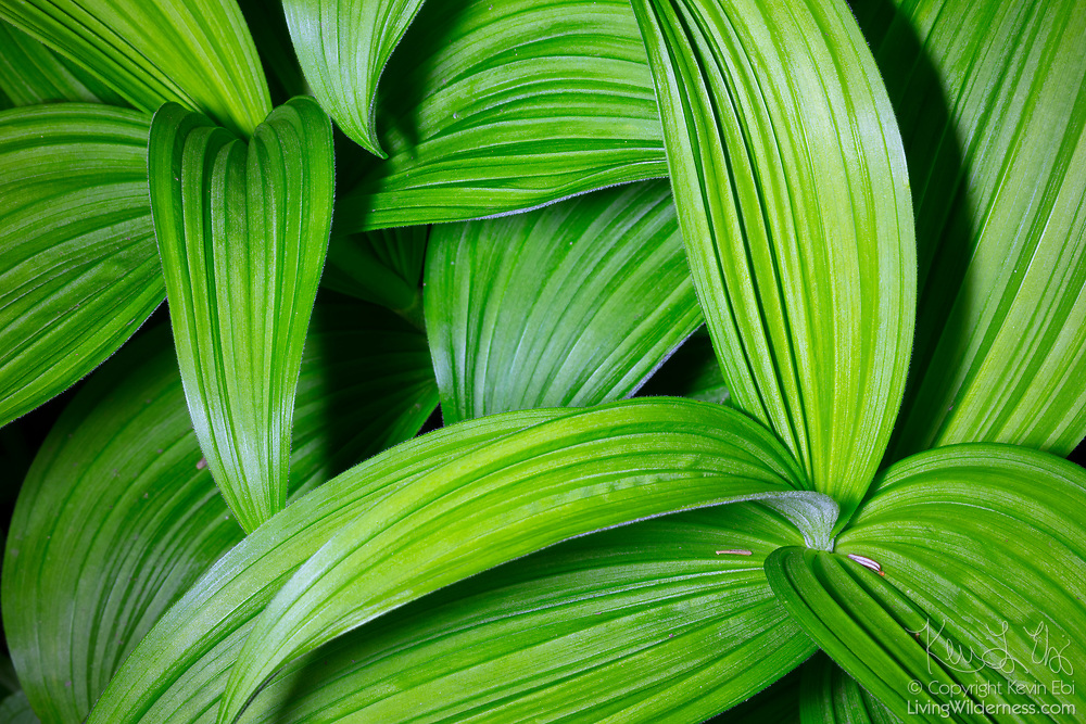 Leaves of several California corn lilies (Veratrum californicum) grow around each other in the Gifford Pinchot National Forest in Washington state. California corn lilies, also known as California false hellebore, are found in mountain meadows from the Cascades to the Sierra Nevada.