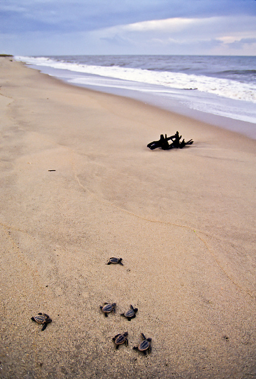 Sea Turtle hatchlings make their way to the safety of the sea.